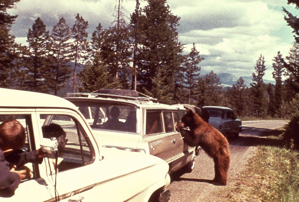 image from yellowstone archives of bears by cards